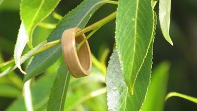 Willow ring in a willow tree